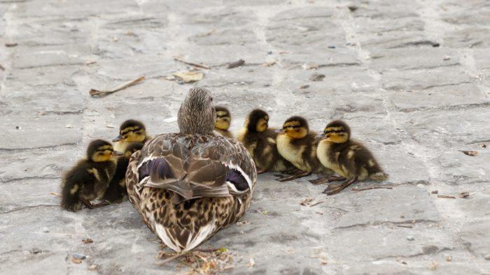 duckie class
